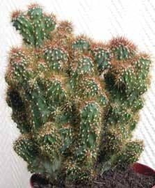Cereus jamacaru f. monstruosus, Cayuco, Cumbeba, Jaucacarú, Mandacarú - Cereus jamacaru f. Cactus Names, Succulent Names, Cacti And Succulents, Planting Succulents, Cactus Plante, Pot Plante, Succulent Gardening, Bonsai Garden, Rare Plants
