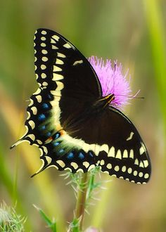 Palamedes Swallowtail by Rich Leighton