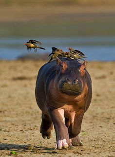 "Africa | ""Panicky baby hippo"". This new born hippo was not accustomed to the pecking of the oxpeckers and started running to the safety of mum and water. Taken from a hippo hide on the banks of the Luangwa river, Zambia 