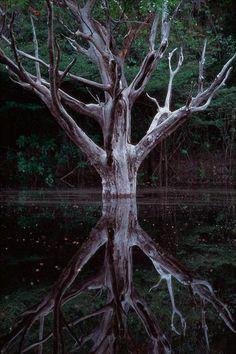 Árvore em Mata de Igapó, de Araquém Alcântara.