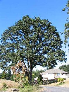 Quercus garryana. Garry Oak
