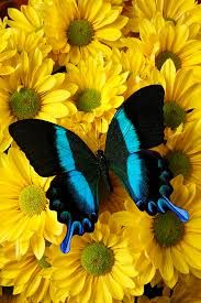 Image result for yellow and black butterflies