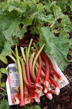Always ate rhubarb from dad's garden. Add some salt to it...mmmmm...yum.