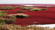 Red beach in Panjin, China. Famous for it's red landscape featuring the a red plant of Goosefoot family called Suaeda salsa. It is based in the biggest wetland and reed marsh in the world. The landscape is composed of shallow seas and tide-lands. Reserva Natural, Red Plants, Red Beach, Flower Landscape, Strange Places, Natural Scenery, Secret Places, China Travel, Strand