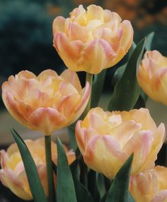 """Tulip Double Late """"CREME UPSTAR"""" A luscious double tulip with a sweet fragrance,fall Planting Bulbs, Bulb Flowers, Tulips Flowers, Daffodils, Spring Flowers, Beautiful Flowers, Tulips Garden, Garden Bulbs, Planting Bulbs, Planting Flowers"""