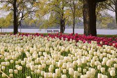 Tulip festival - Dow's Lake Ottawa  I love my tulip festival!
