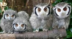 southern white faced owls.