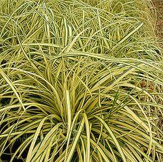 Carex oshimensis - 'Evergold' (Golden Sedge, Carex): Information ...