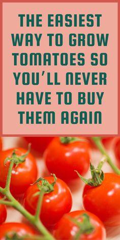 Growing Tomatoes, Growing Herbs, Growing Flowers, Growing Vegetables, Fruit Plants, Edible Plants, Edible Garden, Home Vegetable Garden, Tomato Garden