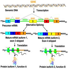 Alternative Splicing generates transcriptome diversity and provides an opportunity for gene regulation. Alternative splicing can generate mRNAs encoding proteins with different, even opposite functions.