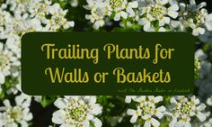 A list of trailing plants for walls and baskets. Diy Garden Furniture, Diy Garden Projects, Plants For Hanging Baskets, Baskets On Wall, Container Gardening, Gardening Tips, Flower Gardening, Shade Plants, Cool Plants