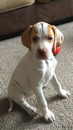 Excellent Pointers information is offered on our internet site. Read more and you will not be sorry you did. English Pointer Puppy, Pointer Puppies, Pointer Dog, Dogs And Puppies, Doggies, Animals Beautiful, Cute Animals, Hungarian Dog, German Shorthaired Pointer