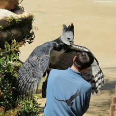 Harpy eagle (Los Angeles Zoo & Botanical Gardens)