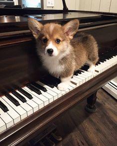 Practice makes perfect, Mabel : BabyCorgis