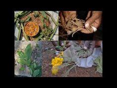 Medicinal Rice P5N Formulations for Acrocephalus Excess: Pankaj Oudhia's...