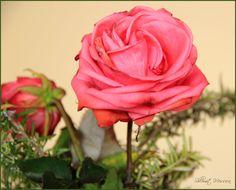 rose_for_thelma_by_shlomitmessica-d5v0klu.jpg (995×802)