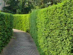 Ezeket ültesd tuja helyett | Gardenista Gardening Tips, Country Roads, Plants, Google, Lawn And Garden, Plant, Planets