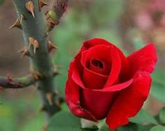 """""""Some people complain because God put thorns on roses, while others praise Him for putting roses among thorns."""""""