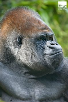 Be safe ~ Chimpanzee, Orangutan, Majestic Animals, Animals Beautiful, Primates, Mammals, Big Gorilla, Gorillas In The Mist, Monkey World