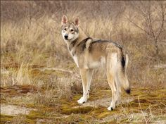 Next dog I want: The Tamaskan from Finland