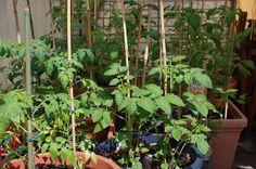 Mr. Greens Welt: Tomaten setzen erste Blüten an
