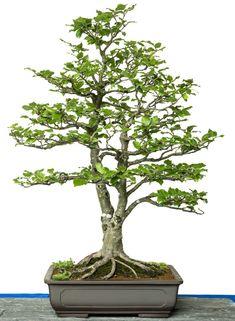 Fagus sylvatica bonsai tree