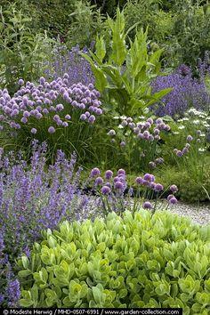 Sedum, Nepeta, Allium schoenoprasum, Dipsacus, Nigella - Locus Flevum May Garden Story