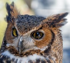 Screech Owl in Captivity in a Florida Park
