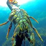 Wellington Spearos Big New Zealand Crayfish