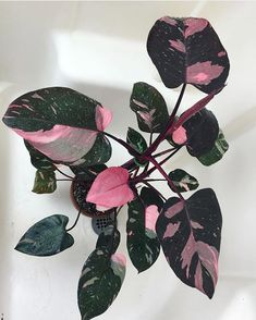 "Philodendron ""pink princess"" Tips on how to grow a philodendron plant at: www. House Plants Decor, Plant Decor, Garden Plants, Exotic House Plants, Best Indoor Plants, Cool Plants, Plantas Indoor, Decoration Plante, Pink Plant"