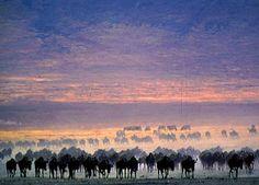 Serengeti | Information about the Serengeti Migration