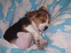 Sweet dreams little Beagle Baby!