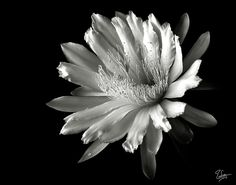 night blooming cereus - Google Search