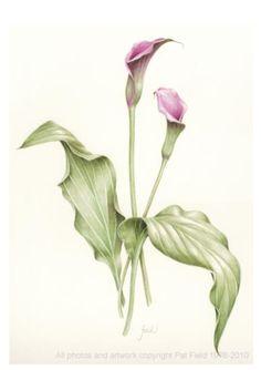 Calla Lily - Zantedeschia aethiopica
