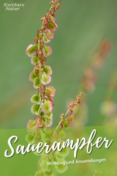 The delicious sorrel is a blessing for eyesight heart and kidneys health the # one Versailles Garden, Kidney Health, Quick Healthy Meals, Daily Health Tips, The Thing Is, A Blessing, Herbal Medicine, Natural Wonders, Garden Plants