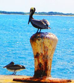 Caribbean Pelicans On Pier Bollard | Love's Photo Album