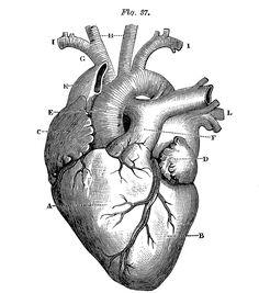 Banque Vintage gratuit Images Coeur anatomique . 1 rouge , 1 noir