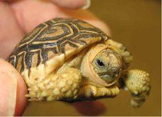 Sulcata Tortoise...I Like TURTLES...