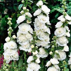 $2.98- Althaea Rosea Hollyhock White 30 seeds White Flower Farm, White Flowers, White Perennial Flowers, Beautiful Gardens, Beautiful Flowers, White Plants, White Gardens, My Secret Garden, Dream Garden