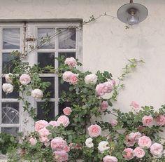 ピンクのバラ赤面