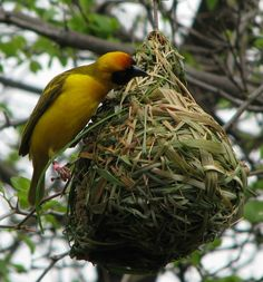 Practice makes perfect for the Botswanan Southern Masked Weaver, shown above weaving a complex nest of out grass. Weavers aren't born knowing how to build these structures, researchers reported today (Sept. 26, 2011) in the journal Behavioural Processess. Instead, the bird vary their technique from one nest to another, sometimes building left to right, sometimes starting from right to left. As the birds gain more experience building nests, they drop grass less often, suggesting that they…