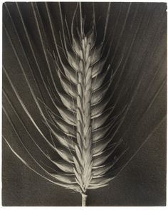 "theegoist:  "" Karl Blossfeldt - Hordeum distichum - Gelatin silver print Print (1920–32)  https://www.moma.org/interactives/objectphoto/objects/83719.html  """