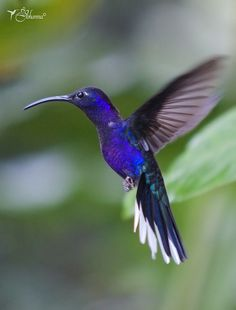 Ala de Sable Violáceo/Violet Sabrewing (Campylopterus hemileucurus) Macho