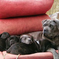 La familia, puppies Cane Corso Italiano, 61 days old.