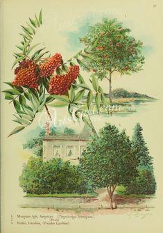 American Mountain Ash, pyrus sorbus americana, Carolina Poplar, populus carolina      ...