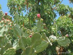 Schijf cactus op Curacao