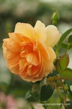 Rosa 'Dame Judi Dench' is an English Musk Hybrid Rose, bred by David Austin and named in honour of one of Britain's favourite actresses, Dame Judi Dench. Shrub Roses, Judi Dench, Coming Up Roses, David Austin Roses, Garden Shrubs, Chelsea Flower Show, English Roses, Orange Flowers, Beautiful Roses