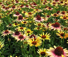 Echinacea 'Evening Glow': Features single flowers with horizontal yellow petals that are flamed with orange and a hint of pink streaks. The cone center is a large and dark. Use this showy coneflower in perennial borders or cutting gardens. It even excels in containers. 'Evening Glow' flowers from spring through summer. Name: Echinacea 'Evening Glow' Growing Conditions: Full sun Size: To 26 inches tall Zones: 4-9 Grow It With: Russian sage