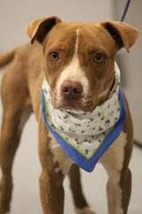 RESCUED> NAME: Evander  ANIMAL ID: 33400778  BREED: Pit  SEX: male  EST. AGE: 2 yr  Est Weight: 35 lbs  Health: Heartworm neg  Temperament: dog friendly, people friendly  ADDITIONAL INFO:  RESCUE PULL FEE: $35  Intake date: 9/6  Available: 9/12