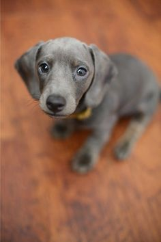 A little Dachshund giving those puppy dog eyes. Cute Puppies, Cute Dogs, Dogs And Puppies, Doggies, Dachshunds, Sweet Dogs, I Love Dogs, Puppy Love, Cutest Puppy